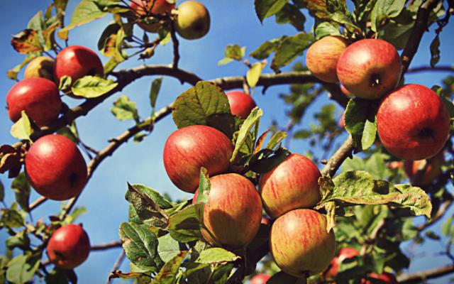 walk through our apple orchards